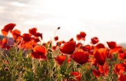 Majestatyczny widok na makowym kwitnienia polu na letnim dniu obraz royalty free