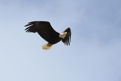 Majestatyczny Łysego Eagle latanie Fotografia Royalty Free