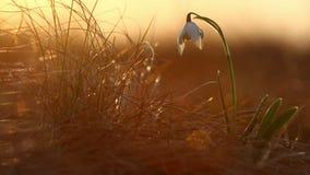 Majestatyczny złoty światło słoneczne na pięknym śnieżyczki wiosny kwiatu dorośnięciu dzikim Zadziwiający piękno dzicy kwiaty w n zbiory