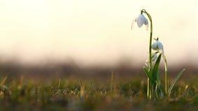 Majestatyczny złoty światło słoneczne na pięknym śnieżyczki wiosny kwiatu dorośnięciu dzikim Zadziwiający piękno dzicy kwiaty w n zdjęcie wideo