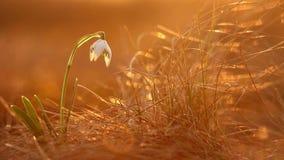 Majestatyczny złoty światło słoneczne na pięknym śnieżyczki wiosny kwiatu dorośnięciu dzikim Zadziwiający piękno dzicy kwiaty w n zbiory wideo