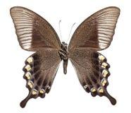 Majestatyczny Zielony Swallowtail motyl Obrazy Stock