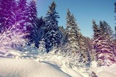 Majestatyczny zima krajobraz mro?na sosna pod ?wiat?em s?onecznym przy zmierzchem bo?ego narodzenia wakacyjny poj?cie, niezwyk?y  zdjęcie royalty free