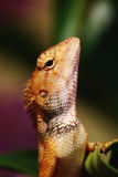 Majestetic Lizard Royalty Free Stock Images