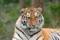 Majestic. Close-up of Siberian tiger Royalty Free Stock Image