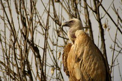 Adult griffon vulture in portrait Royalty Free Stock Photos