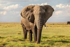 Majestic African bush elephant Loxodonta africana on green grass flat savanna looking into camera royalty free stock image