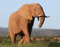Majestic African Elephant Royalty Free Stock Photography