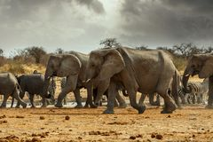 Majestic african elephants, Etosha, Namibia. Majestic african elephants, Etosha national Park, Ombika, Kunene, Namibia. True wildlife photography Stock Image