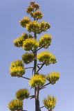 Majestic Agave Plant Royalty Free Stock Photography