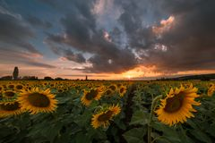Agricultural landscape with sunflowers. Majestic agricultural landscape, farming view with sunflowers field and beautiful sky Royalty Free Stock Photography