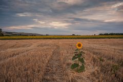 Agricultural landscape with sunflowers. Majestic agricultural landscape, farming view with sunflowers field and beautiful sky Stock Photos