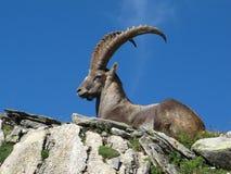 Majestic alpine ibex Stock Photos