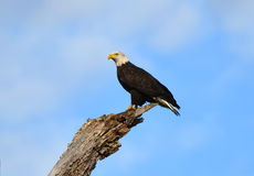 The Majestic American Bald Eagle Stock Photo
