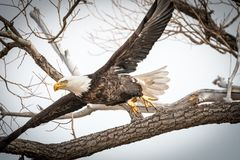 The majestic American bald eagle taking flight from a tree. An American bald eagle spreads his wings as he takes flight from a tree branch in the light gray sky Stock Images