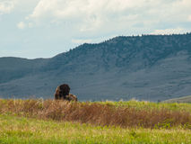 Majestic American Bison Stock Photography