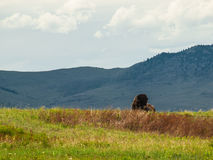 Majestic American Bison Royalty Free Stock Photos
