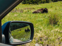 Majestic American Bison Stock Photos