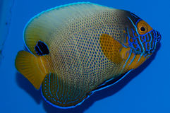 Majestic Angelfish Stock Photography