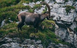 Majestic animal old and wise alpine capricorn Steinbock Capra ibex the swiss alps brienzer rothorn. Majestic animal old and wise alpine capricorn Steinbock Capra stock images