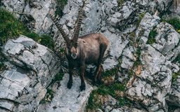 Majestic animal old and wise alpine capricorn Steinbock Capra ibex the swiss alps brienzer rothorn. Majestic animal old and wise alpine capricorn Steinbock Capra Royalty Free Stock Images