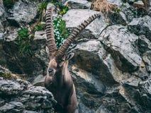 Majestic animal old and wise alpine capricorn Steinbock Capra ibex the swiss alps brienzer rothorn. Majestic animal old and wise alpine capricorn Steinbock Capra stock image
