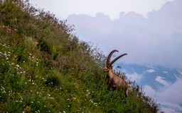 Majestic animal old and wise alpine capricorn Steinbock Capra ibex the swiss alps brienzer rothorn. Majestic animal old and wise alpine capricorn Steinbock Capra royalty free stock photography