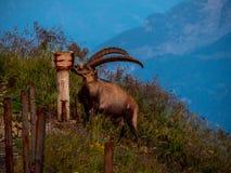 Majestic animal salt lick alpine capricorn Steinbock Capra ibex the swiss alps brienzer rothorn. Sunset stock photography