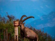 Majestic animal salt lick alpine capricorn Steinbock Capra ibex the swiss alps brienzer rothorn. Sunset stock image