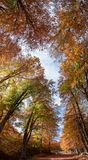 Majestic autumn beech foresrt Royalty Free Stock Photo