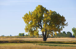 Majestic Autumn Cottonwood Stock Images