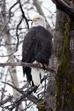 Majestic Bald Eagle Stock Image
