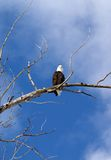 Majestic Bald Eagle. This image of the bald eagle checking me out was taken in western MT Stock Photos