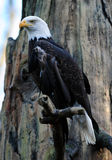 Majestic Bald eagle. Full Portrait of a magestic bald eagle perched on a branch looking out for prey Stock Images