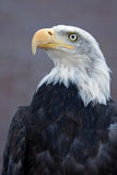 Majestic Bald Eagle. Close up of an American bald eagle Royalty Free Stock Photos