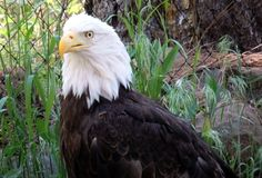 Majestic Bald eagle royalty free stock photography