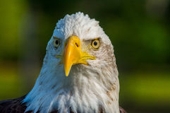 The Majestic Bald Eagle Stock Images