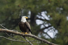 Majestic bald eagle. A large bald eagle is perched on a branch by Coeur d'Alene, Idaho Stock Image