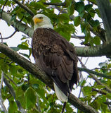 Majestic bald eagle. A bald eagle protecting it's nest from intruders Stock Photo