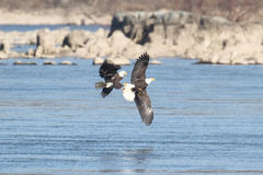 Majestic Bald Eagles Royalty Free Stock Photography
