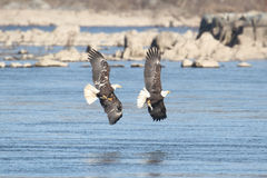 Majestic Bald Eagles Royalty Free Stock Photo