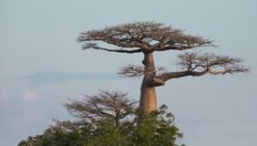 Majestic Baobab Royalty Free Stock Photo