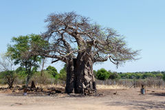 Majestic baobab tree Royalty Free Stock Photography