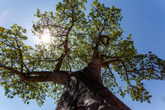 Majestic baobab tree Stock Photography