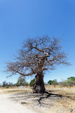 Majestic baobab tree Stock Photography