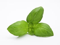 Majestic basil Stock Photography