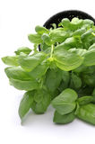 Majestic basil. Is herb and food ingredient Royalty Free Stock Photography