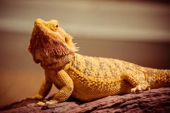 Majestic Bearded Dragon under gold light stock images
