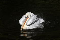 The majestic beautiful bird curly white Pelican splashing fun in. The dark lake spraying water drops with feathers and beak in the Park royalty free stock images