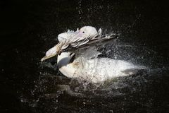 Majestic beautiful bird white Pelican splashing fun in the dark. The majestic beautiful bird white Pelican splashing fun in the dark lake spraying water drops royalty free stock photography